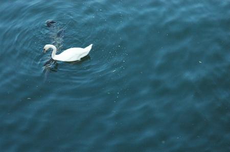 Swan on La Seine